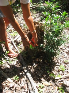 Eine Pfückerin schneidet Jaborandi-Blätter ab.
