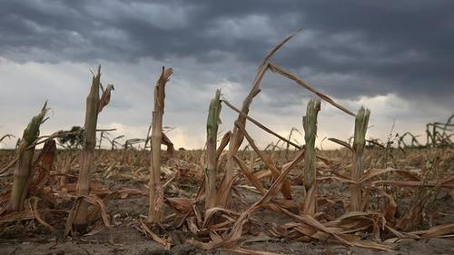 Vertrocknete Maiskolben in Colorado, Sommer 2012, © John Moore/Getty Images