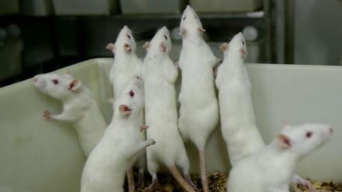 Weiße Ratten in einem Versuchslabor in China (Archiv); China Photos/Getty Images
