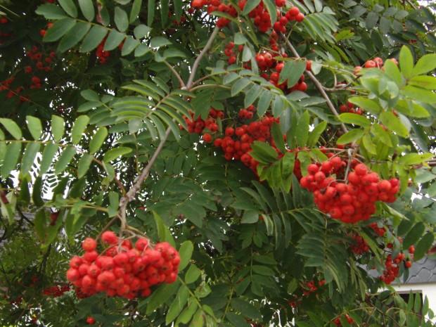 vogelbeerenbaum