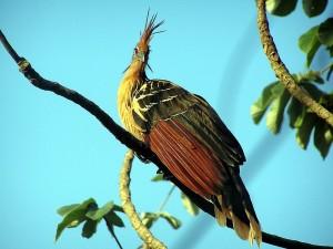 Ein echter Stinker, der Hoatzin/  © Linda de Volder