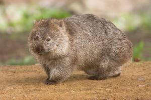 Ein Wombat/ © JJ Harrison
