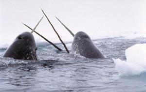 Einhörner der Meere: Narwale/ © Glenn Williams