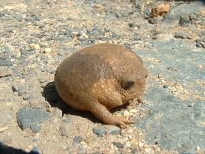Das ist er, der Kurzkopffrosch/ © Abu Shawka