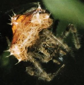 Die Bola-Spinne lebt in Südafrika/ © Lendebeer