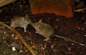 Zwei Helgoländer Mäuse/ © Thomas Sacher