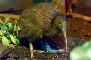 Heißt wie eine Frucht, ist aber ein Vogel: Der Kiwi/ © The Rohit