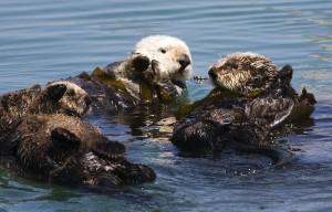 Eine Seeottermutter mit zwei Jungen/ © Mike Baird