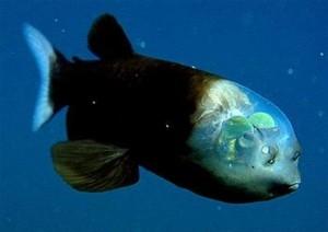 Ein Glaskopffisch/ © Wikipedia