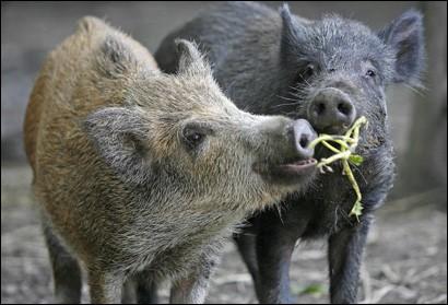 wildschwein-410.jpg