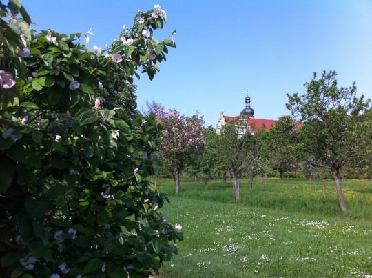 Quittenblüten im Schlossgarten Weikersheim