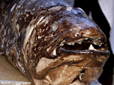 SCIENTIST DISPLAY FISH COELACANTH THOUGHT EXTINCT WITH THE DINOSAURS.