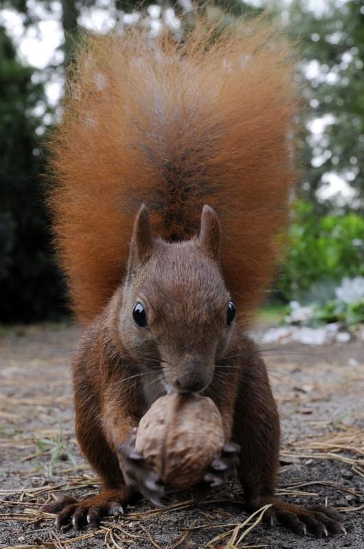 """Ein Eichhörnchen inspiziert am Dienstag (15.09.2009) in Berlin eine Walnuss. Die Gattung der Eichhörnchen ist mit 190 Arten eine der größten Gattungen in der Hörnchen-Familie. In Europa ist nur das Europäische Eichhörnchen heimisch. In Wäldern und Parks sind sie häufig anzutreffen, wobei sie sehr schnell zutraulich werden und sich füttern lassen. Bereits im Altertum war das Eichhörnchen als """"Spieltier"""" besonders bei Kindern sehr beliebt. Sein Körper ist ca. 25 bis 30 cm lang, hinzu kommt der kräftige, buschig gescheitelte Schwanz von fast 20 cm Länge. Es ist sehr leicht und wiegt zwischen 300 und 500g. Eichhörnchen ernähren sich von Nüssen, Bucheckern, Fichtenzapfen, Obst und frischen Trieben. Foto: Rainer Jensen dpa/lbn +++(c) dpa - Bildfunk+++"""