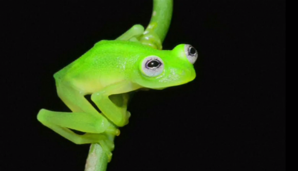 kermit-the-frog-found-costa-rica