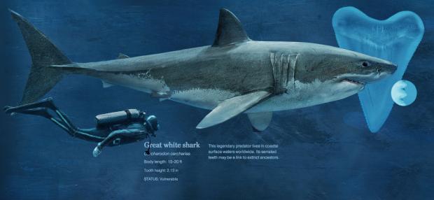 Haie, mit denen man gefahrlos schwimmt