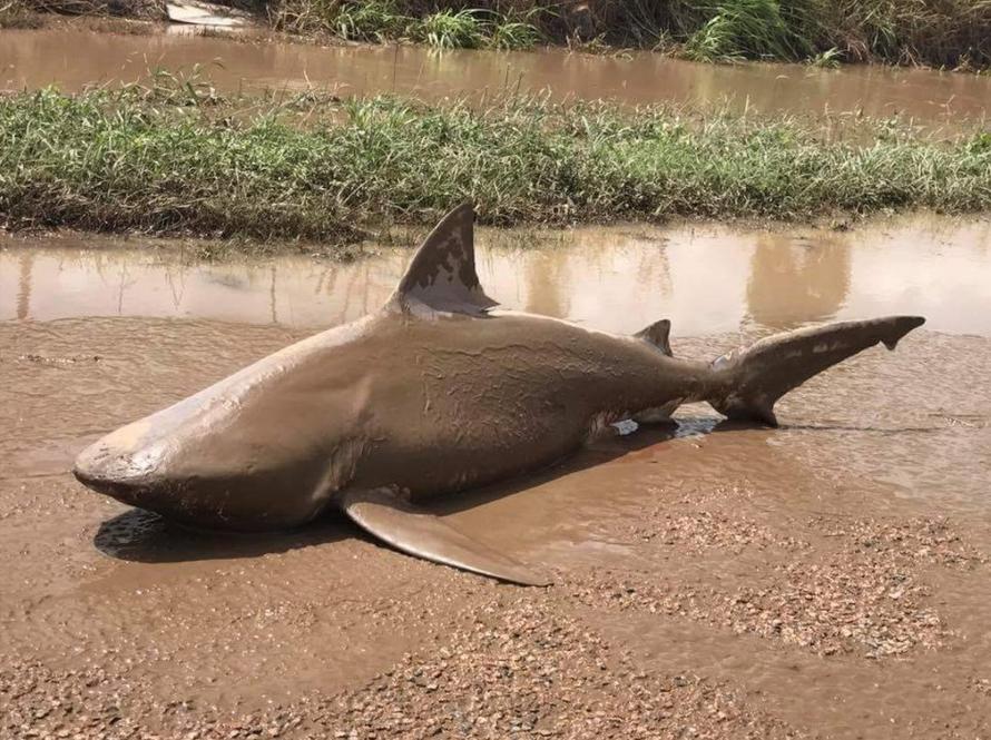 Zyklon Debbie pustet so manchen Hai in bewohntes Gebiet
